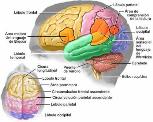 El cerebro humano para niños