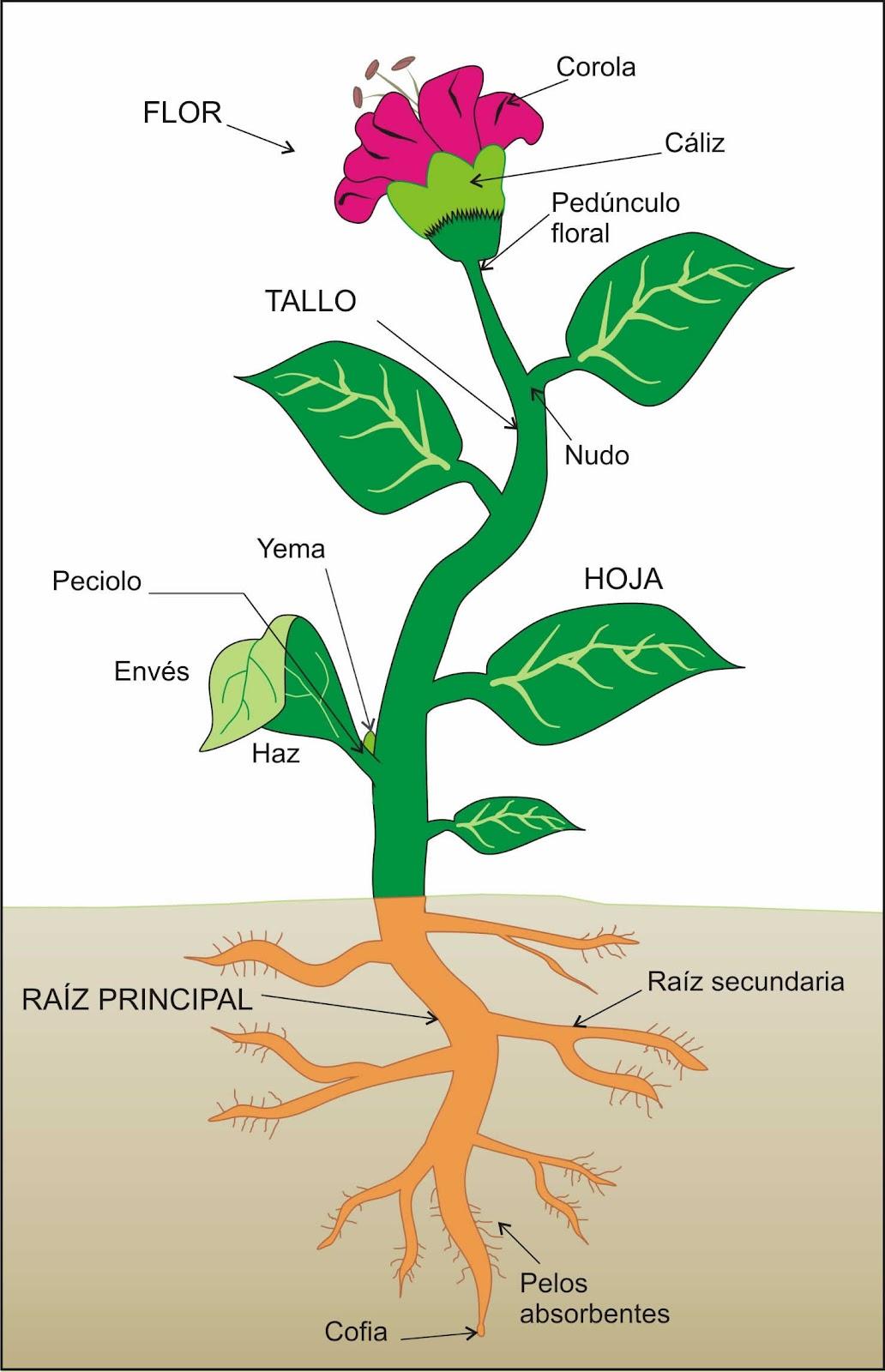 Las partes de una planta para niños