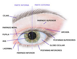 Las partes del ojo