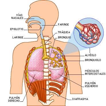 El aparato respiratorio. El cuerpo humano