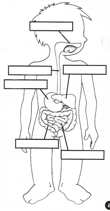Sistema digestivo humano y sus partes para colorear - Imagui