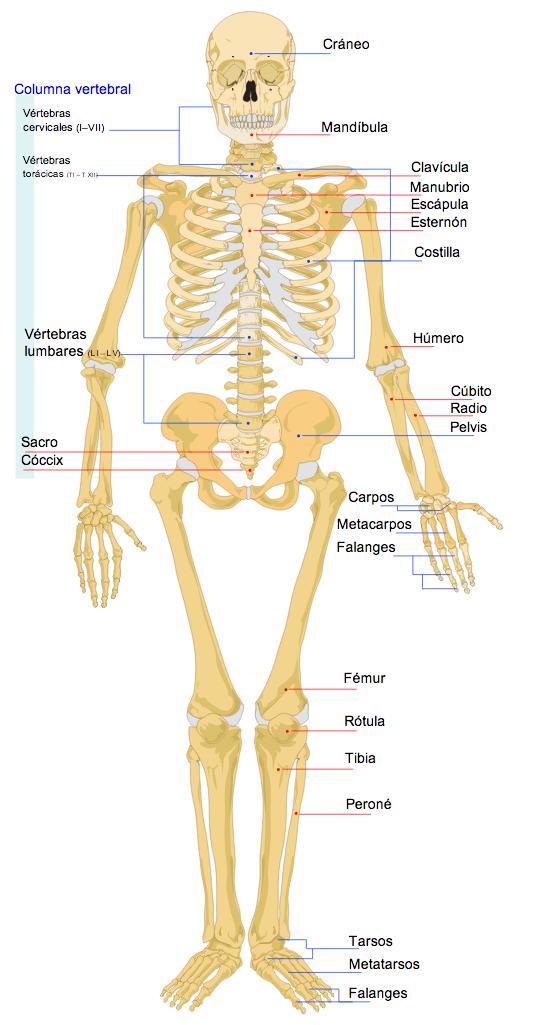 el cuerpo humano el esqueleto sistema oseo